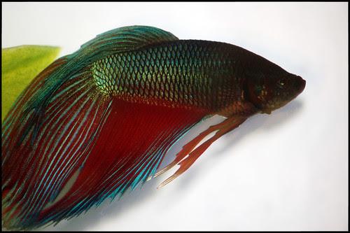 Ikan Sepilai PakTeh