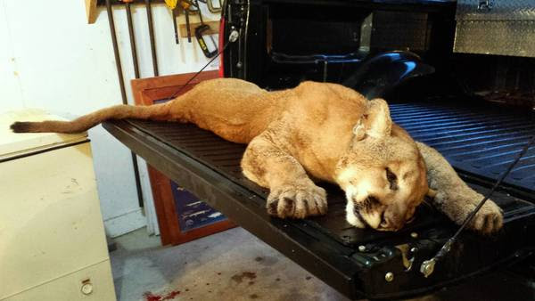 This cougar was shot last week by a state conservation officer in Whiteside County. The animal needn't really have been killed.