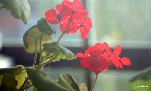 en la terraza: geranio rojo