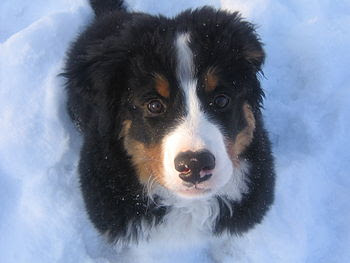 English: Arlo, a 13-week old Bernese Mountain ...