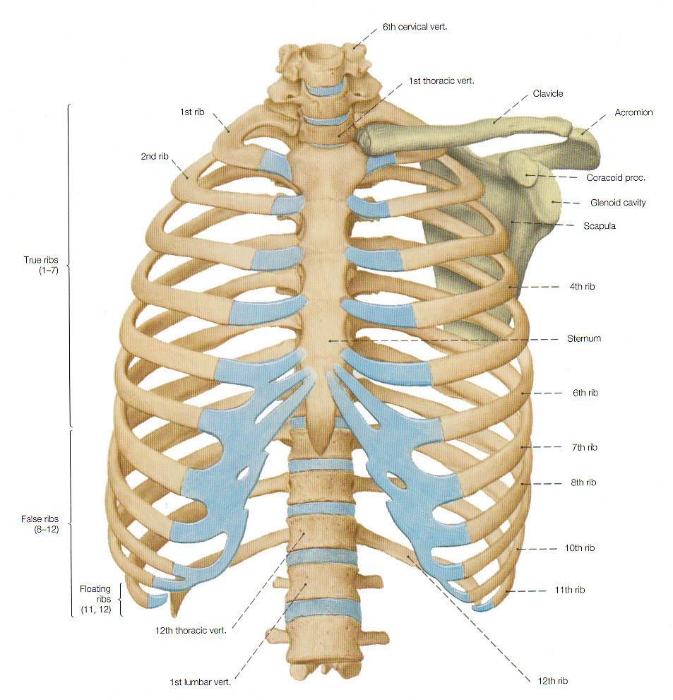 squelette_thorax_ventral_(FF)_en
