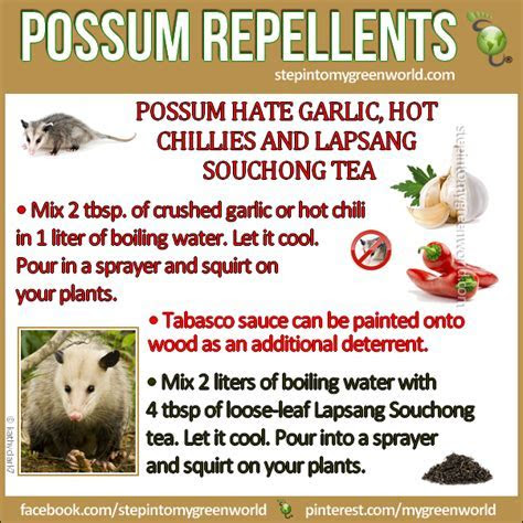 Healthy Living: Natural repellents for getting rid of possums on your property   Step Into My