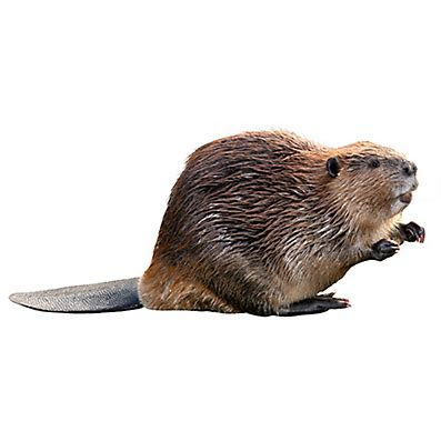 How to Get Rid of Beavers   Beaver Removal   Havahart®