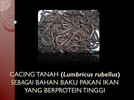 CACING TANAH (Lumbricus rubellus) SEBAGAI BAHAN BAKU PAKAN IKAN YANG BERPROTEIN TINGGI.