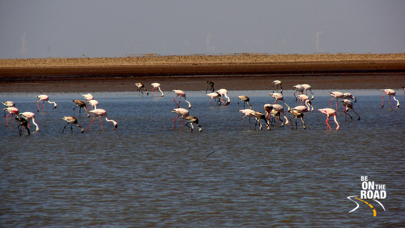 Lesser Flamingos at Rann of Kutch, Gujarat