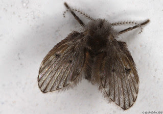tropical moth fly (Diptera: Psychodidae) - indet.