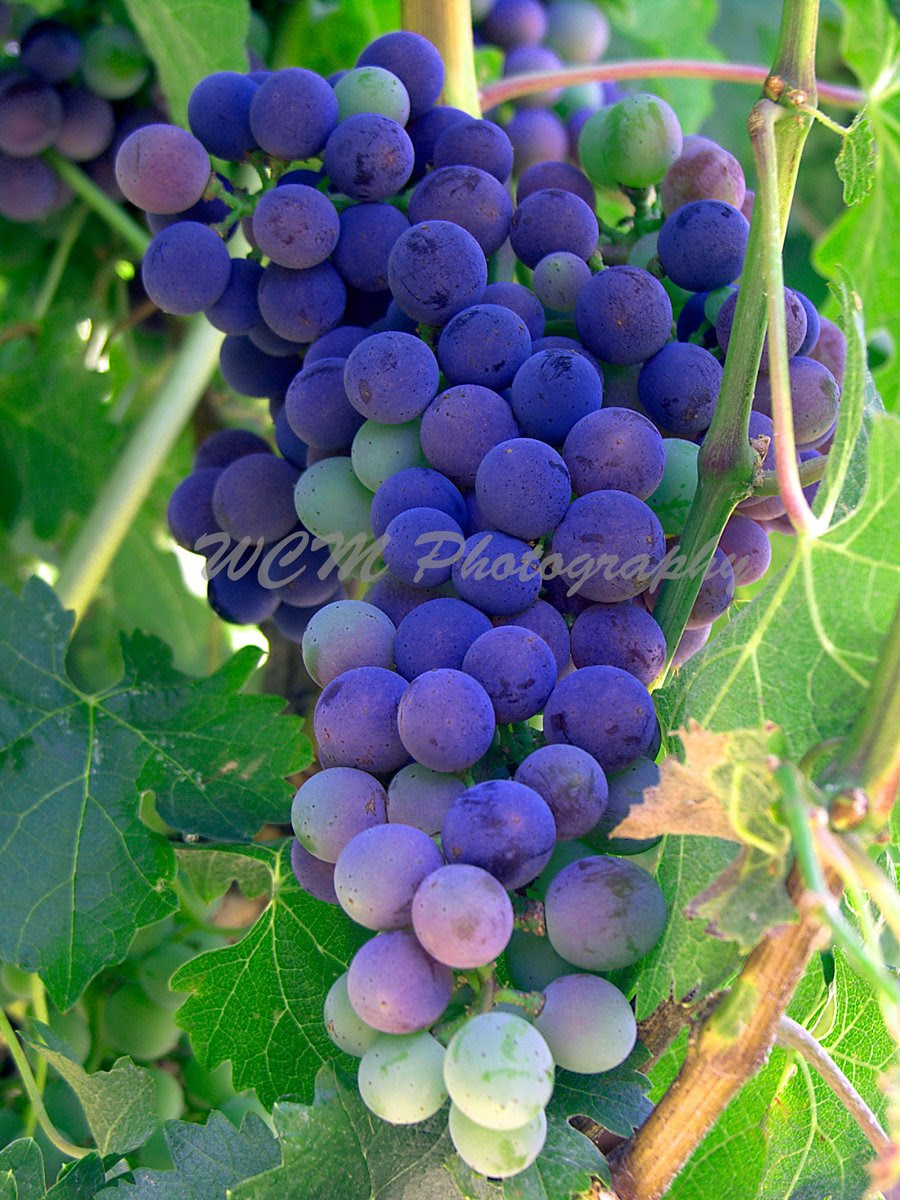 http://www.amazon.com/Wine-Grapes-Napa-Valley-California/dp/B00TBYX7AG/ref=sr_1_23?s=home-garden&ie=UTF8&qid=1423541536&sr=1-23&keywords=WCM+Photography