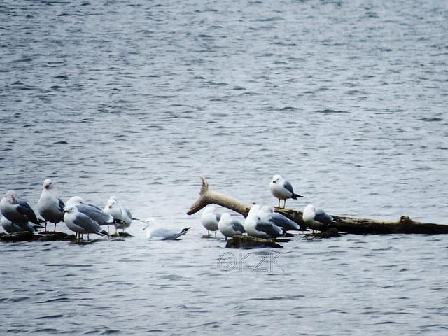 IMG_0856cps Gulls