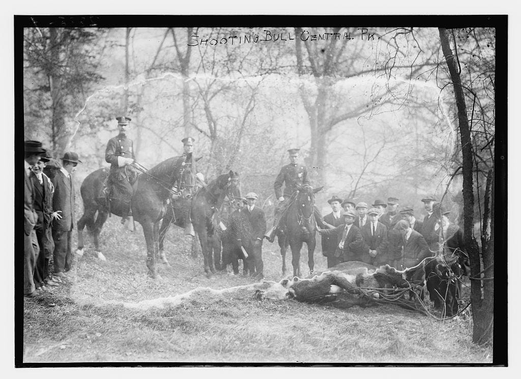 In late 1913, steers escaped from the New York Stock Co. yards and ran rampant through Central Park. Here, a captured steer lies dead.
