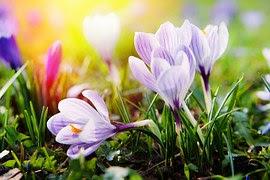 크로커스, 꽃, 봄, 화이트, 봄 꽃, 가까운, 만개한, 개화기, 식물