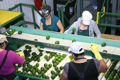 Quality control at West Pak by California Avocados, on Flickr