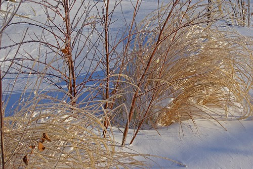 Ice-covered-Grass