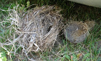 Fallen robins' nest