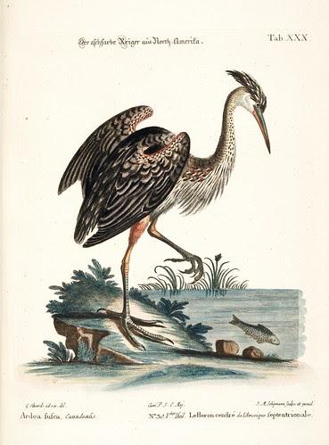 Le Heron cendre de l'Amerique Septentrionale