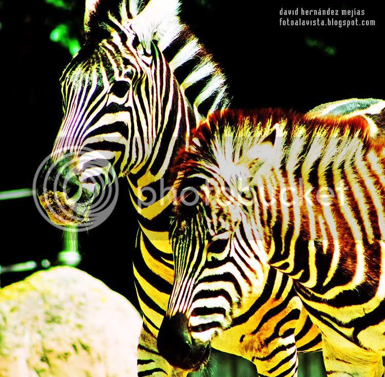 Fotografía realizada a dos cebras en el Parque Zoológico de Madrid