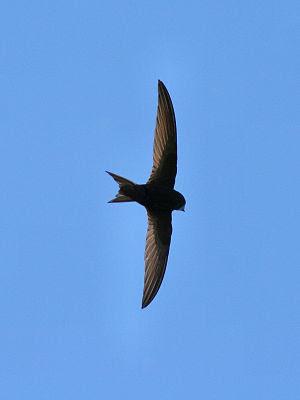 English: Common Swift (Apus apus) in flight. D...