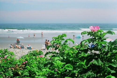 York Beach Roses