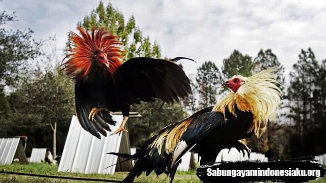 Koleksi 440  Gambar Animasi Ayam Aduan  Paling Keren