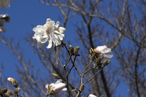 Star Magnolia Blooms by bahayla