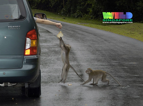 Long-tail macaques (Macaca fascicularis)