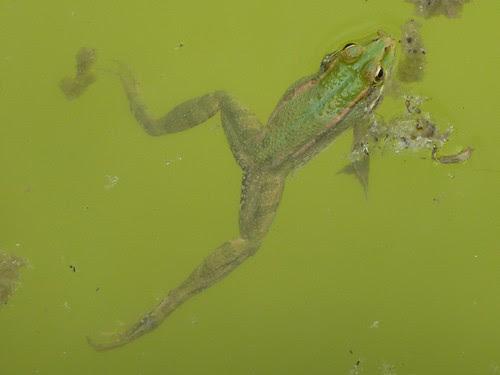 granota verda - P1000924