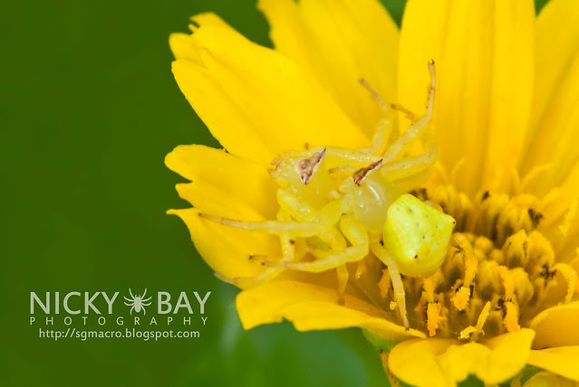 Crab Spiders (Thomisidae) - DSC_7409