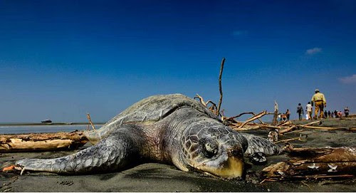 Tortuga muerta en Bangladesh