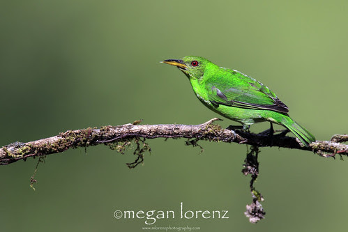 Honeycreeper by Megan Lorenz