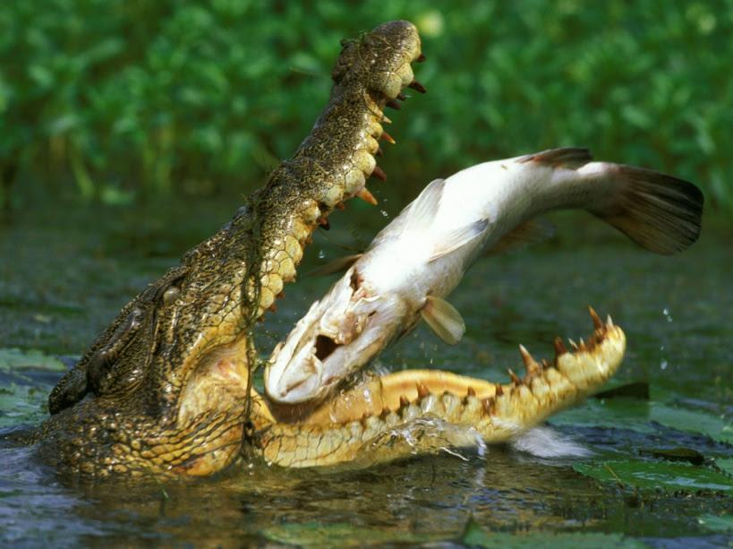 crocodile posorus