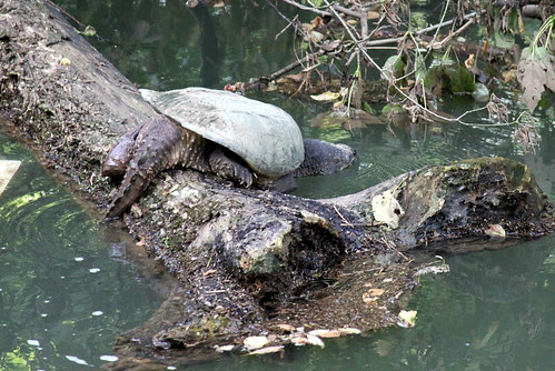 """Alligator"" Snapper by susanc59"