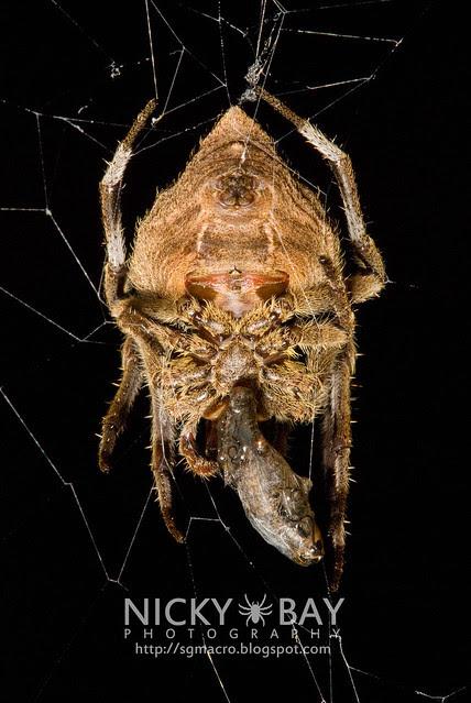 Common Garden Spider (Parawixia dehaani) - DSC_7618