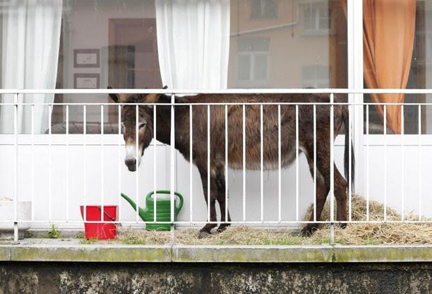 donos receberam uma notificação para retirar o animal depois de reclamação de vizinhos (Foto: François Lenoir/AP)