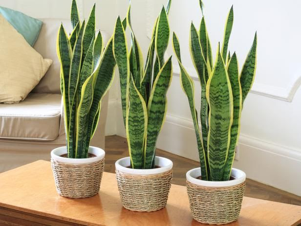 Snake plant (Sanseviera). This plant can handle very low light levels, such as bathrooms without windows and dim inside corners.
