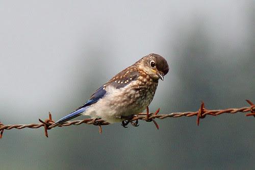 Eastern Bluebird, Juvenile
