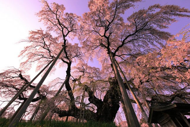 Under a 1000 year old weeping cherry blossom tree in Japan