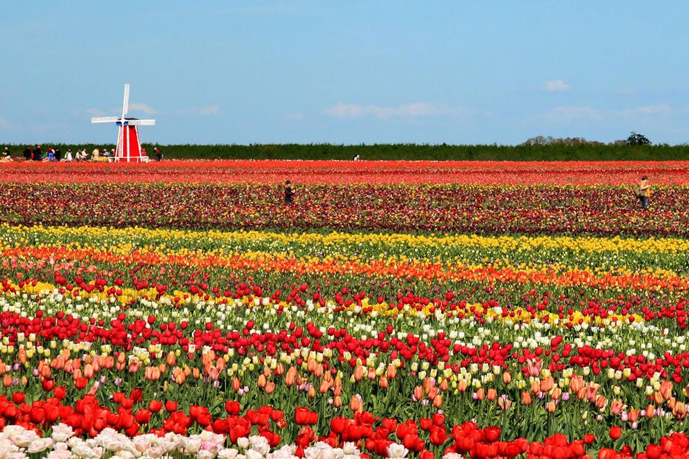 Τουλίπες και Windmill σε ξύλινα Farms Tulip παπουτσιών και Φεστιβάλ, Όρεγκον