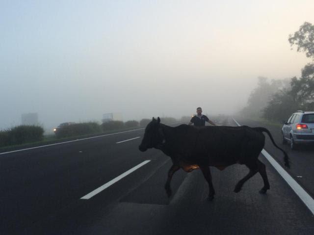 Gado invade a freeway e causa acidente com veículo Felipe Daroit/Rádio Gaúcha