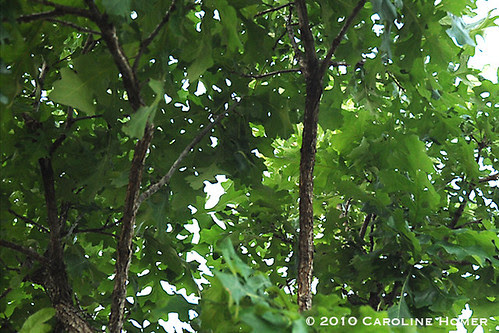Baby bur oak