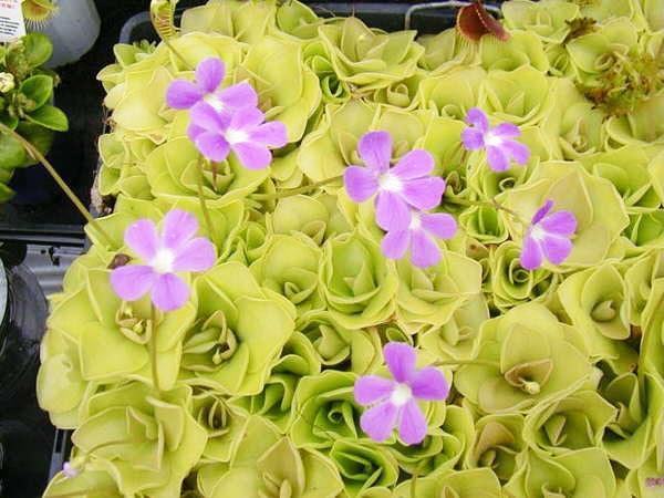 perierga.gr - 10 καταπληκτικά (και θανατηφόρα) σαρκοφάγα φυτά!