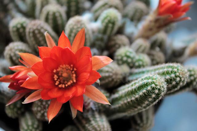 Peanut cactus flower
