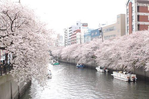 Cherry blossoms Festival