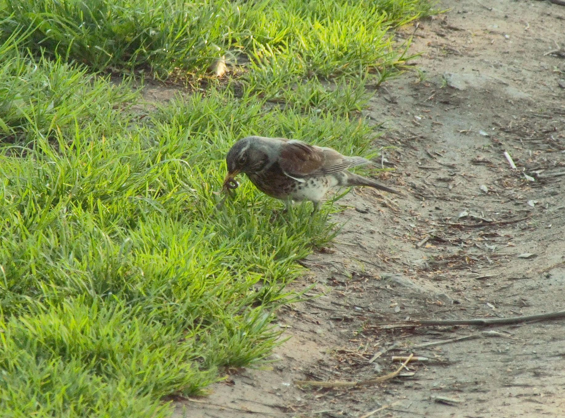 A bird capturing worm