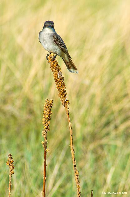 Eastern Kingbird, Chatfield State Park, Colorado