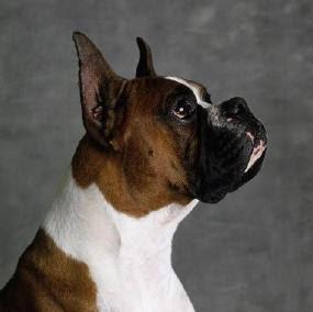 O Boxer Baba Amigo Pet: Boxer