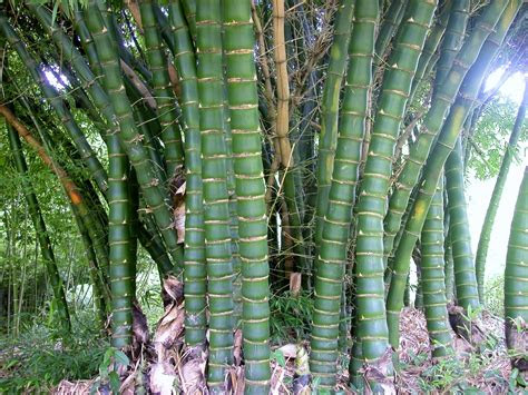 bamboo australia bamboo plants landscaping