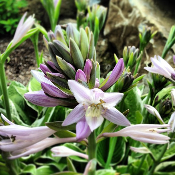 Hosta flowers. So pretty!