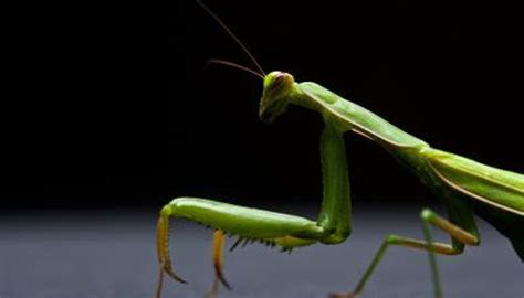What Are the Stages of the Praying Mantis' Life Cycle?   Animals   mom.me