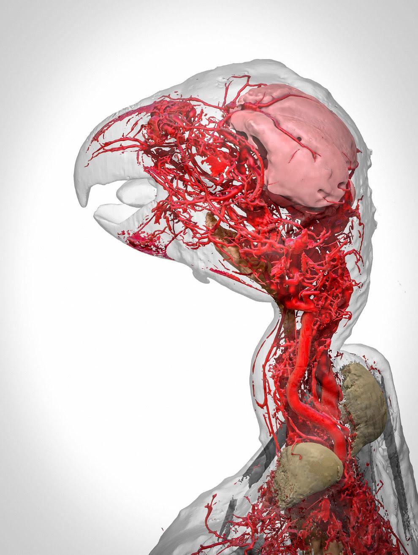 Модель кровеносной системы африканского серого попугая