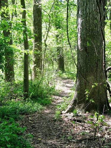 white oak on northeast trail