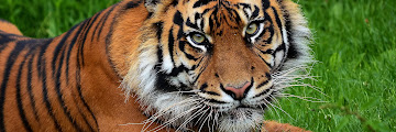 Tiger HD Wallpaper Background Image 2560x1600 ID:249430 Wallpaper Abyss